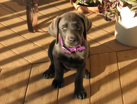 Tula as a puppy